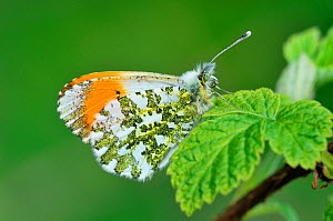 Orange tip butterfly (Anthocharis cardamines) resting on bramble leaf, Ross-shire, Scotland, May - Laurie Campbell