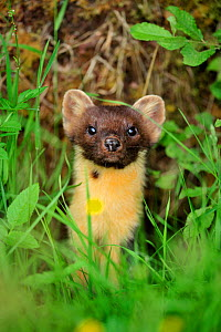 Female Pine marten (Martes martes) in undergrowth, Ardnamurchan Peninsula, Argyll, Scotland, June  -  Laurie Campbell
