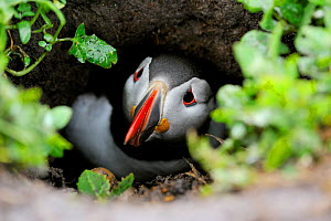 Puffin (Fratercula arctica) at entrance of nesting burrow, Farne Islands, Northumberland, England, July - Laurie Campbell
