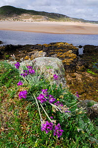 Purple oxytropis / Mountain milk-vetch (Oxytropis halleri) flowering, Invernaver Special Area of Conservation, Torrisdale Bay, North Highlands, Scotland, June  -  Laurie Campbell