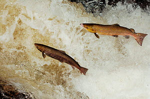 Two Atlantic salmon (Salmo salar) acending waterfall to reach spawning beds, Perthshire, Scotland, November  -  Laurie Campbell