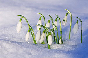Snowdrops (Galanthus nivalis) emerging through snow, Roxburghshire, Scotland, February  -  Laurie Campbell