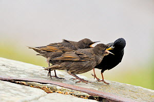 Two juvenile Starlings (sturnus vulgaris) begging for food from parent, Moray Firth, Scotland, June - Laurie Campbell