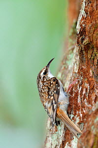 Common treecreeper (Certhia familiaris) perched on trunk of sequoia, Inverness-shire, Scotland, May - Laurie Campbell