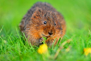 Water vole (Arvicola amphibius / terrestris) feeding on dandelion flower, Cromford, Derbyshire, England, April  -  Laurie Campbell
