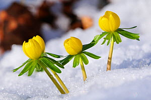 Winter aconite (Eranthis hyemalis) flowers emerging through snow, Roxburghshire, Scotland, February  -  Laurie Campbell