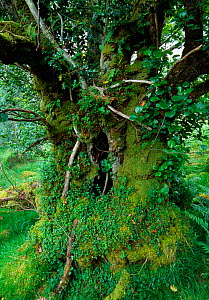 Old Alder (Alnus glutinosa) tree growing in Beinn Eighe National Nature Reserve, Wester Ross, Scotland, June - Laurie Campbell