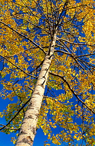 Aspen tree (Populus tremula) in autumn, Speyside, Scotland, October  -  Laurie Campbell