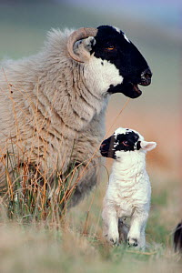 Black-faced sheep (Ovis domesticus) ewe with lamb, Lanarkshire, Scotland, April  -  Laurie Campbell