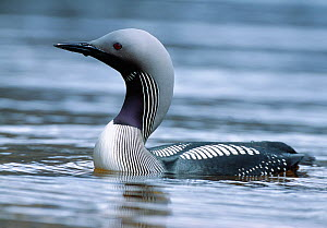 Black-throated diver (Gavia arctica) Loch Maree, Beinn Eighe National Nature Reserve, Wester Ross, Scotland, June  -  Laurie Campbell