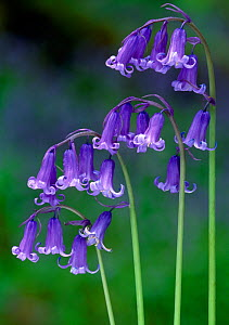 Bluebells (Endymion non-scriptus) flowering, Perthshire, Scotland, May  -  Laurie Campbell
