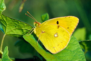 Clouded yellow butterfly (Colias crocea) resting on bindweed, Berwickshire, Scotland, July  -  Laurie Campbell