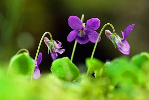 Common dog violet (Viola riviniana) flowers, Argyll, Scotland, May - Laurie Campbell