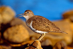 Common sandpiper (Actitis hypoleucos) calling, Argyll, Scotland, May  -  Laurie Campbell