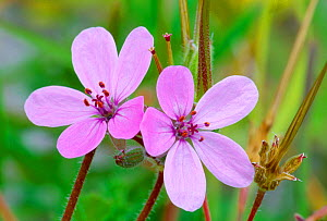 Two Common storksbill (Erodium cicutarium) flowers, North Uist, Scotland, July  -  Laurie Campbell