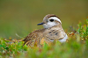 Dotterel (Charadrius morinellus) male on nest incubating, Inverness-shire, Scotland, June - Laurie Campbell
