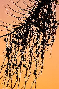European larch (Larix decidua) branches bearing cones silhouetted at sunset, Berwickshire, Scotland, December  -  Laurie Campbell