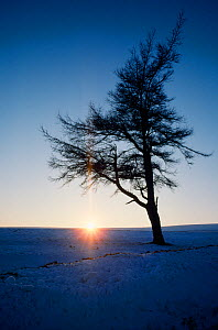 European larch (Larix decidua) lone tree on exposed site in winter, Lammermuir Hills, Berwickshire, Scotland, December  -  Laurie Campbell