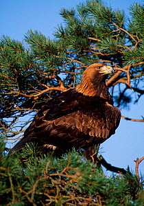 Golden eagle (Aquila chrysaetos) falconer's bird perched in scots pine (controlled) Southern Scotland, February  -  Laurie Campbell