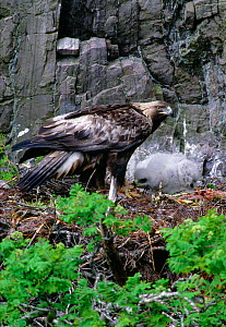 Female Golden eagle (Aquila chrysaetos) at eyrie with two week old chick, Lochaber, Scotland, May  -  Laurie Campbell