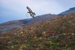 Golden eagle (Aquila chrysaetos) carrying a sprig of rowan to refresh eyrie lining, Lochaber, Scotland, June  -  Laurie Campbell