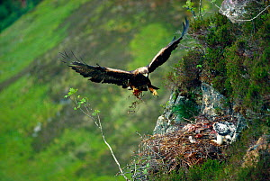 Golden eagle (Aquila chrysaetos) male arriving at eyrie with food, Lochaber, Scotland, June  -  Laurie Campbell