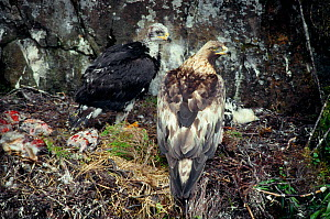 Golden eagle (Aquila chrysaetos) female with six week old eaglet at eyrie with body of sibling, Lochaber, Scotland, July  -  Laurie Campbell