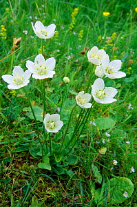 Grass of parnassus (Parnassia palustris) flowering, Caithness, Scotland, July  -  Laurie Campbell
