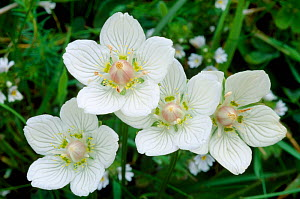 Grass of parnassus (Parnassia palustris) flowers, Caithness, Scotland, July  -  Laurie Campbell