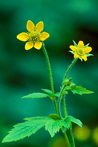 Herb bennet / Wood avens (Geum urbanum) flowering, Ross-shire, Scotland, June  -  Laurie Campbell