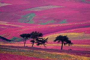 Row of Larch trees on flowering heather moorland, Lammermuir Hills, Berwickshire, Scotland, August  -  Laurie Campbell