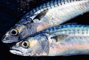 Two caught Atlantic mackerel (Scomber scombrus) Isle of Skye, Hebrides, Scotland, August  -  Laurie Campbell