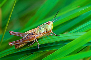 Meadow grasshopper (Chorthippus parallelus) Applecross, Wester Ross, Scotland, July - Laurie Campbell