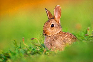 Juvenile European rabbit (Oryctolagus cuniculus) in public park, Edinburgh, Scotland, June  -  Laurie Campbell