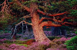Scots pine (Pinus sylvestris) mature tree in evening light, Abernethy Forest RSPB Reserve, Cairngorms National Park, August  -  Laurie Campbell