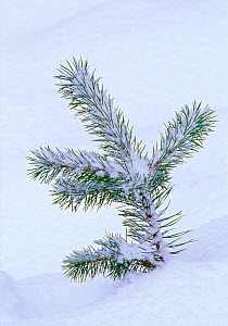 Scots pine (Pinus sylvestris) seedling in snow, Abernethy Forest RSPB Reserve, Strathspey, Scotland, December - Laurie Campbell