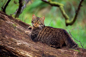 Semi habituated female Scottish wildcat (Felis silvestris grampia) lying on favourite scatching log, living wild in native oakwood,~Lochaber, Scotland, May - Laurie Campbell