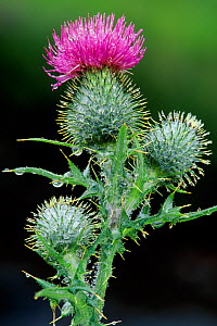 Spear thistle (Cirsium vulgare) flowering, Isle of Skye, Scotland, July - Laurie Campbell