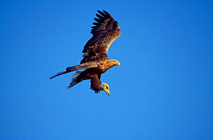 White-tailed sea eagle (Haliaeetus albicilla) flying, Inner Hebrides, Scotland, July - Laurie Campbell