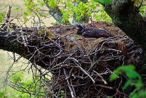 White-tailed sea eagle (Haliaeetus albicilla) chick in eyrie, Inner Hebrides, Scotland, May  -  Laurie Campbell