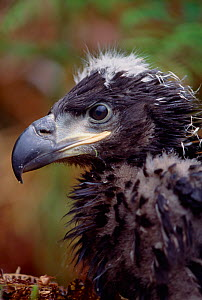 White-tailed sea eagle (Haliaeetus albicilla) re-introduced juvenile at release site, West Highlands, Scotland, August 1996  -  Laurie Campbell