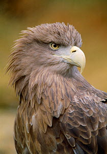 White-tailed sea eagle (Haliaeetus albicilla) portrait, captive, Strathspey, Scotland, July  -  Laurie Campbell