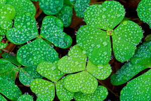 Wood sorrel (Oxalis acetosella) leaves covered in rain driops, Morayshire, Scotland, April - Laurie  Campbell