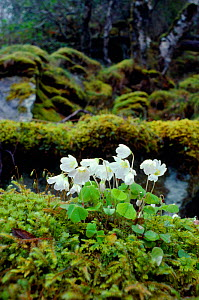 Wood sorrel (Oxalis acetosella) flowering, Argyll, Scotland, April - Laurie  Campbell