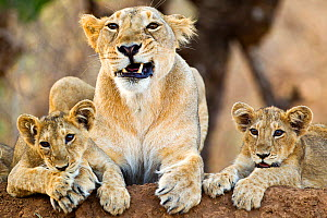 Asiatic lioness with two cubs (Panthera leo persica), Gir Forest NP, Gujarat, India  -  Uri Golman