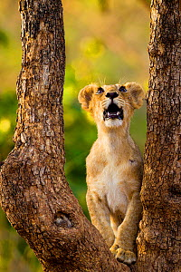 Asiatic lion cub (Panthera leo persica) looking up into tree, possibly at a bird, Gir Forest NP, Gujarat, India  -  Uri Golman