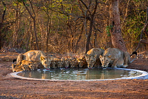 Asiatic lionesses and cubs (Panthera leo persica) drinking from pool, Gir Forest NP, Gujarat, India. Water is scarce in the Gir, so Forest staff keep a network of drinking pools topped up for the wild...  -  Uri Golman