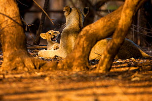Asiatic lion (Panthera leo persica) young cub snarling at sub-adult that is getting too rough, Gir Forest NP, Gujarat, India  -  Uri Golman