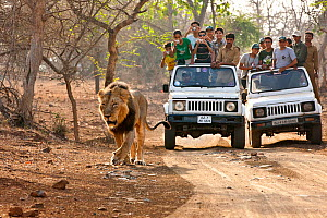 Tourists watching an Asiatic male lion (Panthera leo persica) from safari jeeps, Gir Forest NP, Gujarat, India  -  Uri Golman
