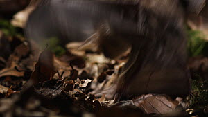 Greater mouse-eared bat (Myotis myotis) catching prey on the ground from amongst leaf litter, captive, Germany, May  -  Dietmar  Nill